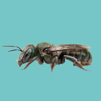 Green Metallic/ Sweat Bees