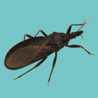 Conenose/Kissing Bug