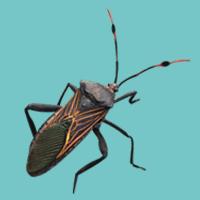 Giant Mesquite Bug
